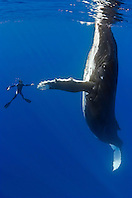 humpback whale, Megaptera novaeangliae, and diver, reaching out for a physical contact, Pacific Ocean, Model Released: MR-000045