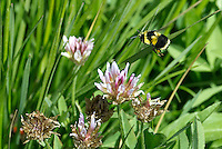 320380002 a wild american bumblebee bombus pennsylvanicus hovers over foothill clover wildflower rifolium ciliolatum at dismal swamp modoc county california