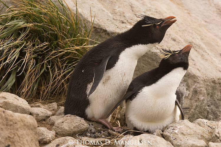Rockhopper penguins courting on West Point Island in the Falkland Islands.