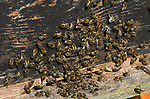 Honey Bee, Apis mellifera, workers at front of hive with abdomen raised showing nassenov or scent gland, for warning or attracting lost bees, social, network, .United Kingdom....