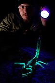 Emperor Scorpion (Pandinus imperator) fluorescing under UV light in the dark with a scientist looking on.