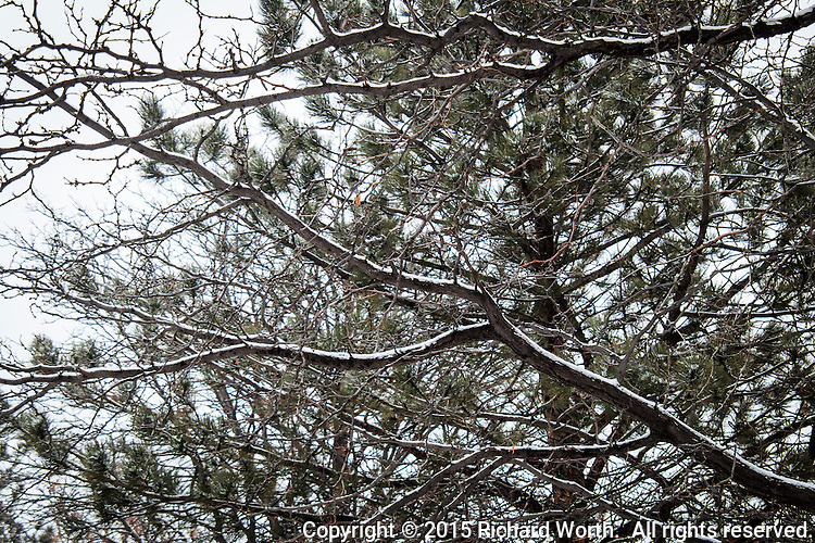 Dusted with snow, branches of a decidusous tree trace white and black lines across an evergreen's muted verdant needles on a snowy, Boulder, Colorado morning.