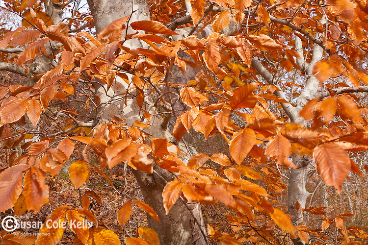 American Beech (Fagus grandifolia) on the Beech Forest Trail, Cape Cod National Seashore, Provincetown, Cape Cod, MA, USA