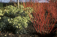 Cornus alba Sibirica (Siberian dogwood winter interest red stems) &amp; Helleborus foetidus in flower in winter. GR1406