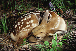 White-tailed deer fawn asleep on the forest floor, Washington