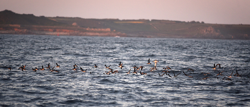 THE ISLES OF SCILLY SEABIRD RESCUE PROJECT. MANX SHEARWATERS RAFTING AT DUSK OFF THE COAST OF ANNET IN THE ISLES OF SCILLY. 18/06/2015. PHOTOGRAPHER CLARE KENDALL.