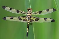 379000002 a wild teneral female banded pennant celithemis fasciata dragonfly in austin travis county texas
