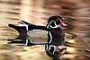 Wood Duck (Aix sponsa), L.A. County Arboretum, California