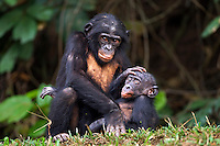 Bonobo male juvenile aged 4 years playing with a younger infant (Pan paniscus), Lola Ya Bonobo Sanctuary, Democratic Republic of Congo.