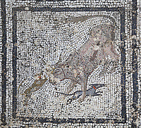 Roman mosaic of 2 dogs attacking a bull, 3rd century AD, from the House of the Wild Animals, Volubilis, Northern Morocco. Volubilis was founded in the 3rd century BC by the Phoenicians and was a Roman settlement from the 1st century AD. Volubilis was a thriving Roman olive growing town until 280 AD and was settled until the 11th century. The buildings were largely destroyed by an earthquake in the 18th century and have since been excavated and partly restored. Volubilis was listed as a UNESCO World Heritage Site in 1997. Picture by Manuel Cohen