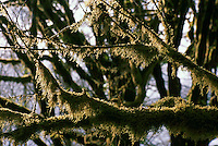 Moss Covered Branches and Tree Trunks on Deciduous Trees, in Temperate West Coast Rainforest, Vancouver Island, BC, British Columbia, Canada