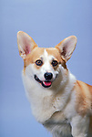 Pembroke Welsh Corgi in the studio Shopping cart has 3 Tabs:<br /> <br /> 1) Rights-Managed downloads for Commercial Use<br /> <br /> 2) Print sizes from wallet to 20x30<br /> <br /> 3) Merchandise items like T-shirts and refrigerator magnets