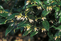 Sarcocca confusa in bloom