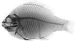 X-ray image of a scup fish (black on white) by Jim Wehtje, specialist in x-ray art and design images.