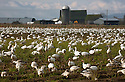WA08139-00...WASHINGTON - A large flock of snow geese on a farm field on Fir Island in the Skagit River Delta.
