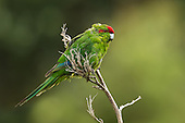 Kakariki began eating flax on TIritiri Matangi in the late 1990s, reducing flax-flower stems down to only two by 2000!  When kakriki numbers declined significantly in the winter of 2001, flax flowering improved, much to the benefit of the three nectar-eating species: tui, bellbird, and stitchbird.