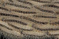 Eichen-Prozessionsspinner, Eichen - Prozessionsspinner, Eichenprozessionsspinner, Raupe, Raupen marschieren mit Einbruch der Dämmerung in langen Prozessionen aus ihren Gespinstnestern heraus und hinauf in die Äste der Eiche, um dort zu fressen, Thaumetopoea processionea, oak processionary moth