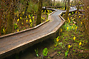 OR01200-00...OREGON - Boardwalk through a sunk cabbage covered marsh along the Hidden Creek Trail in the South Slough National Estuarine Research Reserve.