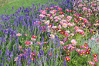 Beautiful garden bed full of flowers. English lavender Lavandula angustifolia 'Hidcote', Cosmos 'Antiquity' annual flowers for sunny garden border, with Heuchera in bloom, Perennial flowers with annuals in pink and blue color theme combination planting. RHS Hampton Court Palace Flower Show 2011, LOROS Hospice Garden of Light and Remembrance)