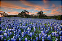 This landscape of Texas bluebonnets still lingers in my mind even years later. I had set out to find wildflowers blooming in springtime here in the Hill Country. I was amazed when I came across this lovely stretch of blue. I had left my home near Austin with thunderstorms overhead, but by the time I made my way down this dirt road near San Saba, the air was motionless and the soft clouds were beginning to turn shades of pink and red. My only company this night were the cows mooing in a nearby pasture. It was a good evening.
