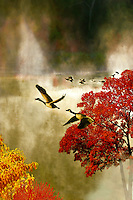 Canada Geese flying off in rising mist of fall morning on midwestern lake with autumn colors of sassafrass and maple