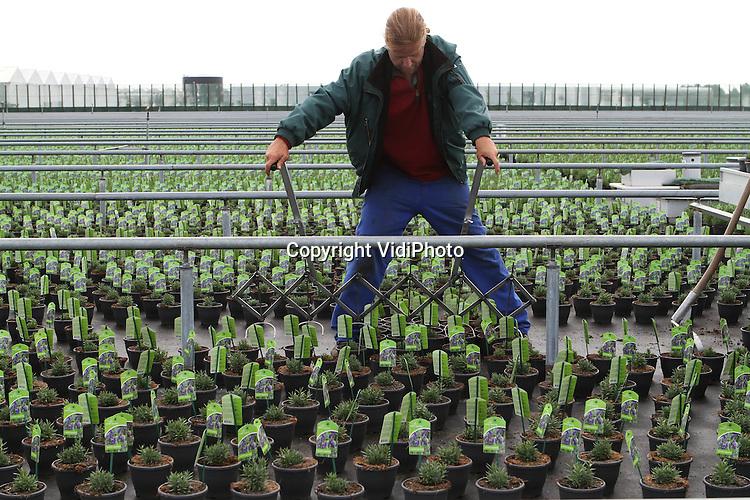 Foto: VidiPhoto..BEMMEL - Personeel van werkvoorzieningschap Presikhaaf Kwekerij in het kassengebied Bergerden bij Bemmel verplaatst en raapt dinsdag lavendel, twee weken eerder dan gebruikelijk. De trendy buitenplant wordt normaal gesproken pas in juni 'geoogst'. De geur van lavendel is op dit moment erg 'hot' en naar de plant is veel vraag van consumenten. Omdat het op het 10 ha. grote buitenterrein van Presikhaaf altijd waait, is chemische bestrijding van de schimmelgevoelige lavendel niet nodig..