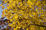 Yellow fall leaves on tree blue sky leaf autumn colorful south carolina