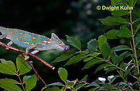 CH38-522z Female Veiled Chameleon tongue flicking to catch insect prey, Chamaeleo calyptratus, for sequence see CH38-523z