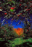 Apples hang on the trees at Grandview Apple Orchard near Antigo, Wisconsin in autumn.