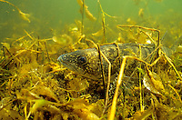 Walleye hidden in underwater vegetation<br />