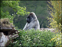 BNPS.co.uk (01202 558833)<br /> Pic: MichaelMechen/BNPS<br /> <br /> Nico surveys his island.<br /> <br /> Get off my land...<br /> <br /> Europe&rsquo;s oldest gorilla ended up getting his feathers well and truly ruffled after a bizarre confrontation with a grumpy goose.<br /> <br /> Nico, a 55-year-old silverback lowland gorilla, clearly didn&rsquo;t take kindly to a pair of Canada geese who attempted to invade his island home at Longleat Safari Park.<br /> <br /> The amazing encounter was captured on film by amateur photographer Michael Mechen during a visit to the Wiltshire safari park.
