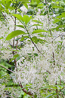 White Fringe Tree, Chionanthus  virginicus, native American spring blooming tree shrub