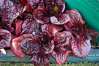 Lettuce 'Nymans' in raised bed