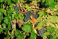 Large clusters of ripening purple grapes glisten in crisp morning sun. Glimpses of gnarled vine and weathered stake. A few brown leaves. Goudargues Provence France.