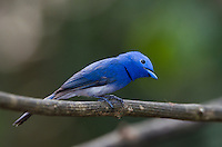 The Black-naped Monarch (Hypothymis azurea) is a Monarch flycatcher found across Southern Asia. (Kaeng Krachan, Thailand)