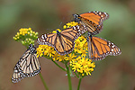 Monarch Butterfly, Danaus plexippus, El Chincua Nature Reserve, group feeding on yellow flower, nectar, migration, roosting site, lifecycle metamorphosis orange pattern wing.Mexico....