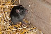 Hausratte, Haus-Ratte, Ratte, Dachratte, in einem Stall zwischen Stroh, Rattus rattus, black rat, roof rat, house rat, ship rat