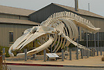 Blue whale skeleton at Seymour Discovery Center