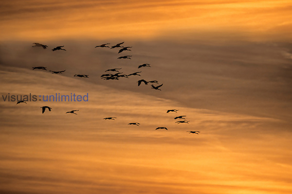 Flock of Sandhill Cranes at sunset.
