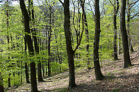 Forest in spring  on St Vid Hill, Velem Hungary