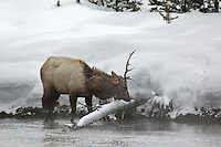 Elk bull (Cervus canadensis) in snow at Firehole River, Yellowstone National Park, Winter, Wyoming, United States of America.