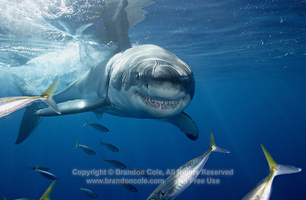py0370-D. Great White Shark (Carcharodon carcharias). Guadalupe Island, Mexico, Pacific Ocean..Photo Copyright © Brandon Cole. All rights reserved worldwide.  www.brandoncole.com..This photo is NOT free. It is NOT in the public domain. This photo is a Copyrighted Work, registered with the US Copyright Office. .Rights to reproduction of photograph granted only upon payment in full of agreed upon licensing fee. Any use of this photo prior to such payment is an infringement of copyright and punishable by fines up to  $150,000 USD...Brandon Cole.MARINE PHOTOGRAPHY.http://www.brandoncole.com.email: brandoncole@msn.com.4917 N. Boeing Rd..Spokane Valley, WA  99206  USA.tel: 509-535-3489