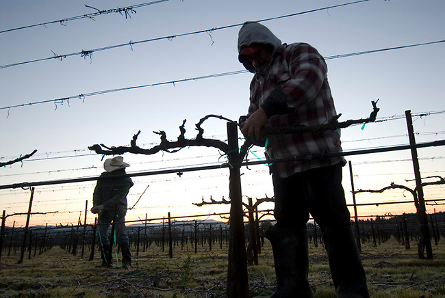 Pruning in Bartolucci vineyard