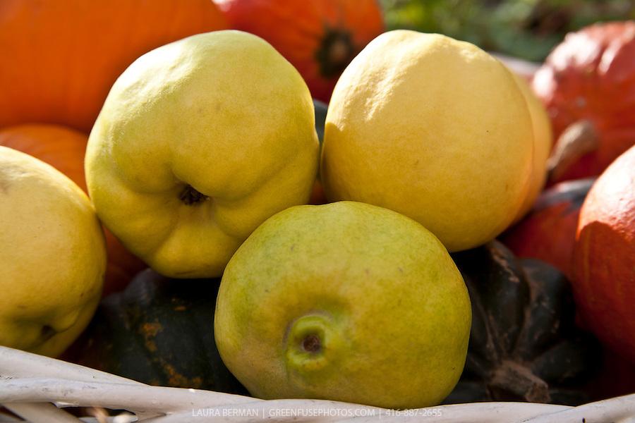 Edible Quince (Cydonia oblonga) | GreenFuse Photos: Garden ...