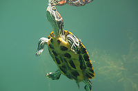 Red-Eared Slider, Underwater
