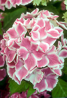 Picotee pink and white garden hydrangea flowers variety Frau Taiko aka Angel Song of the Lady series
