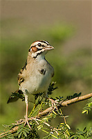578810034 a wild lark sparrow chondested grammacus wild perches on a mesquite tree in the rio grande valley south texas united states