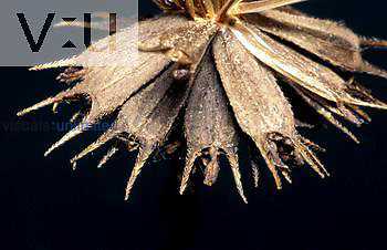 Beggar Ticks seeds or achenes ,Bidens vulgata, are dispersed by attaching to clothes or animal fur.