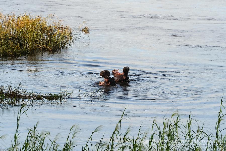 Hippopotamus in the river close to Pestana Kruger Lodge, Kruger National Park, South Africa.