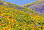 Hills covered in wildflowers, Los Angeles County, California